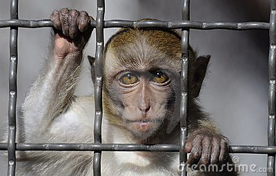 Crab-eating Macaque behind bars