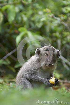 Crab-eating macaque (Macaca fascicularis)