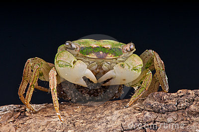 Crab with eggs