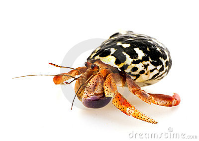 Crab hermit in a seashell