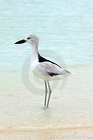 Free Crab Plover 2 Royalty Free Stock Images - 10812009