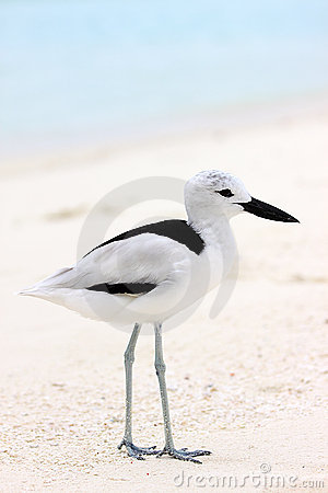 Free Crab Plover 5 Stock Photo - 10819850