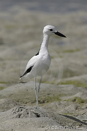 Free Crab Plover Royalty Free Stock Photography - 648567