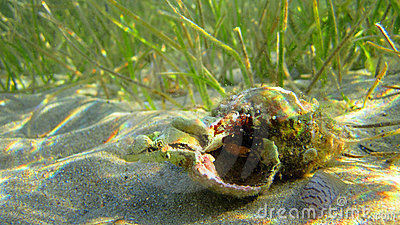 Crab in shell under sea