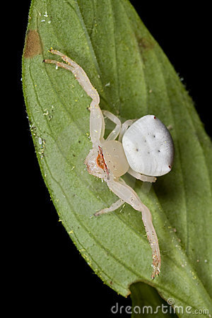 Free Crab Spider Stock Photography - 9667532