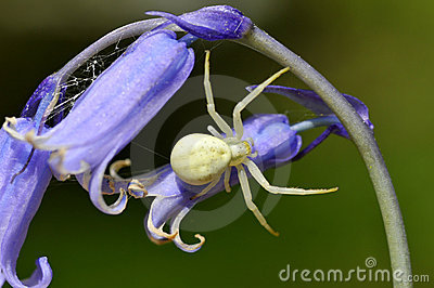 Crab spider on common bluebell flower