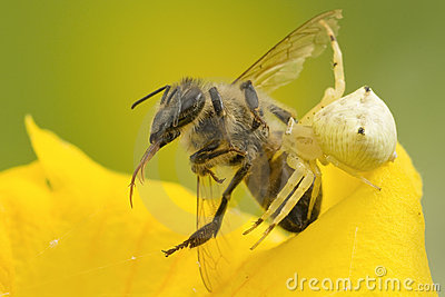 Crab Spider preys on bee