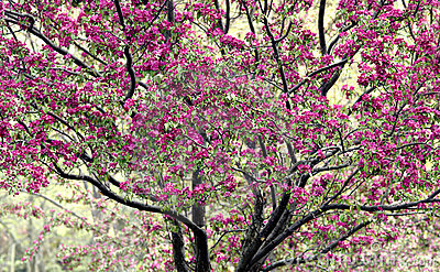 Crabapple Tree In Bloom Stock Photos - Image: 5233633