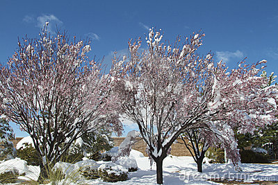 Crabapple Trees and Snow