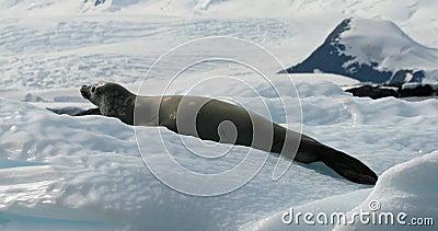 Crabeater seal 14
