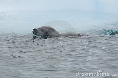 Crabeater seal from floating iceberg