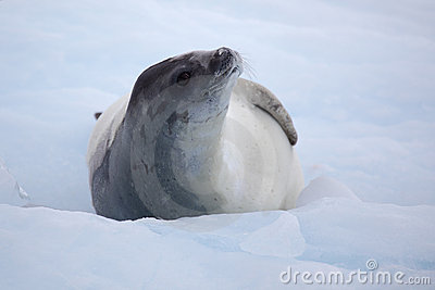 Crabeater seal on ice floe, Antarctica