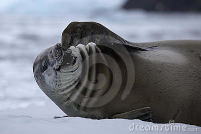 Crabeater seal laugning out loud, Antarctica