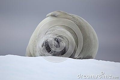 Crabeater seal sleeping on ice floe, Antarctica