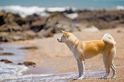 Crabot d Akita Inu à la plage