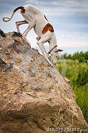 Crabot de chien d Ibizan