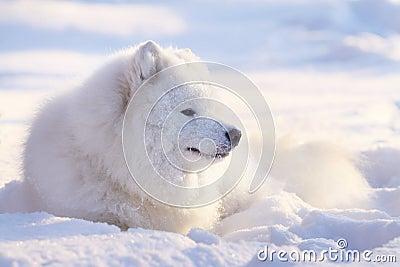 Crabot de Samoyed dans la neige