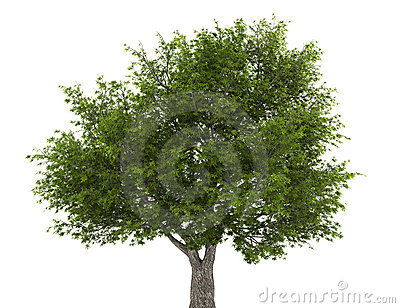 Crack willow tree isolated on white