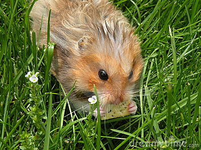 Cracker eating rodent in grass