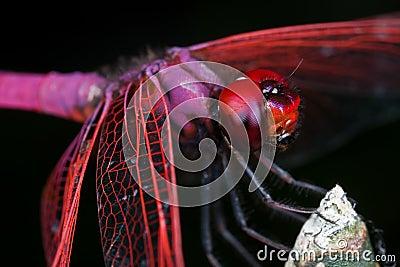 Cramoisi mâle dropwing