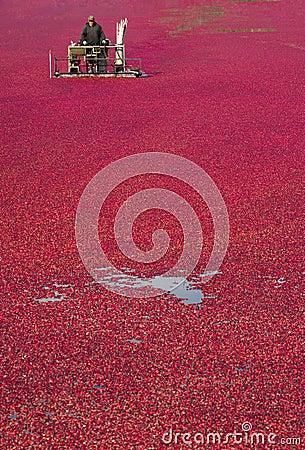 Cranberry Bog Harvested By Fruit Food Farmer