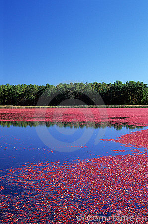 Free Cranberry Bog Royalty Free Stock Photography - 4855597