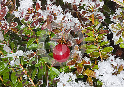 Cranberry in winter