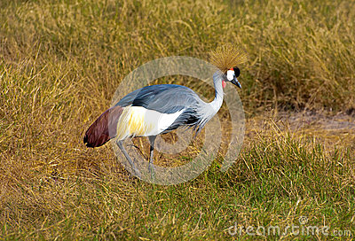 Crane, Amboseli Kenya