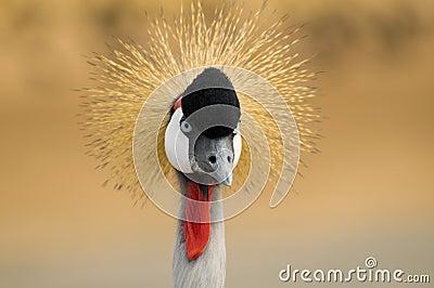 Crane bird staring