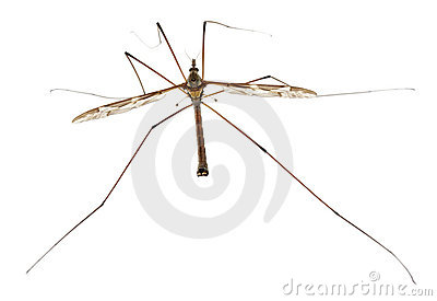 Crane fly or daddy long-legs, Tipula maxima