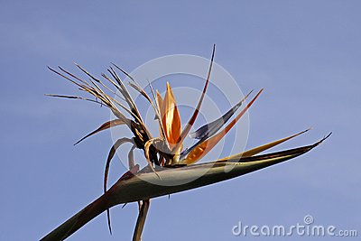 Crane Lily or Bird of Paradise