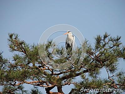 Crane in pine
