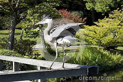 Crane showing off in garden