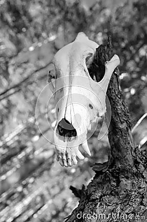 Cranio di un predatore
