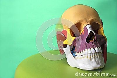 Cranium model