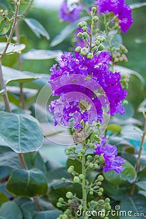 Free Crape Myrtle Catawba Flower Royalty Free Stock Images - 98848039