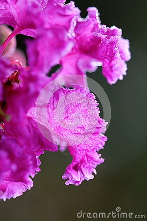 Free Crape Myrtle Flower Macro With Early Morning Dew Royalty Free Stock Photography - 44785227