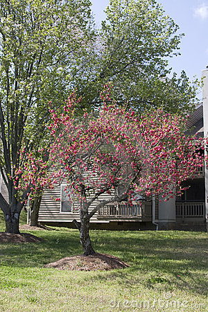 Crape Myrtle Tree fully bloomed in Spring
