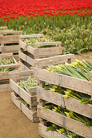 crates of tulips