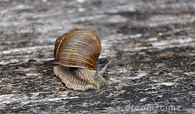 Crawling snail with a shell
