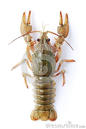 Free Crayfish Royalty Free Stock Photos - 13765688