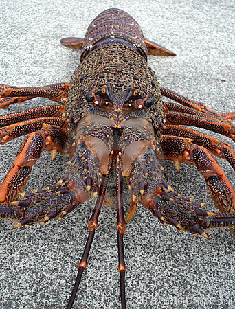 Crayfish spiny rock lobster