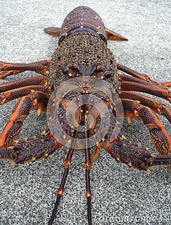 Crayfish spiny rock lobster