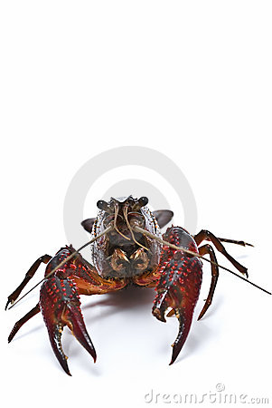 Free Crayfish With A Clamp Broken. Royalty Free Stock Photo - 14859085