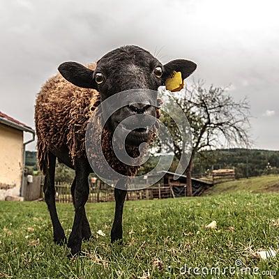 Crazy brown sheep