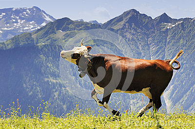 Crazy Cow Is Jumping In The Mountain Royalty Free Stock