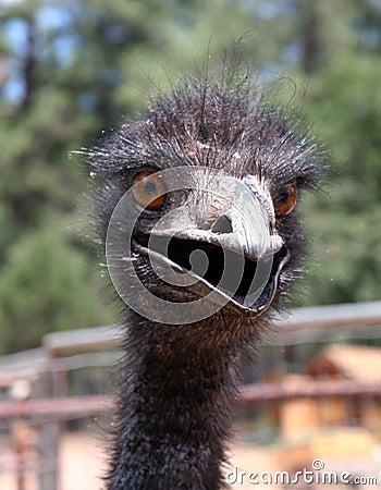 Free Crazy Emu Royalty Free Stock Photos - 13082348
