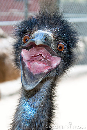 Free Crazy Emu Royalty Free Stock Image - 9121266