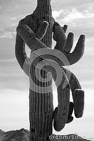 Crazy weird Saguaro Cactus Scenic