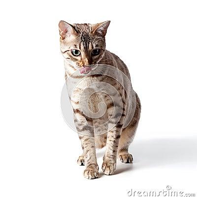 Cream colored bengal tiger cat